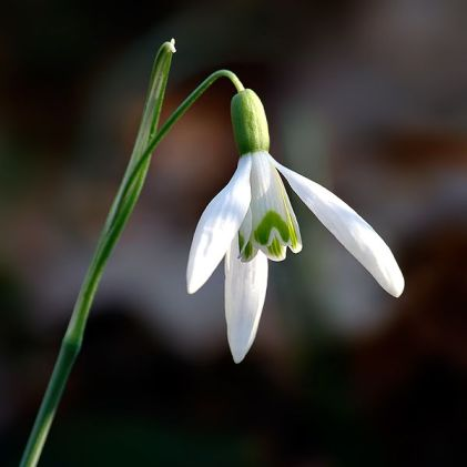 Galanthus_nivalis_close-up_aka